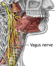 Vaugs Nerve - this image is adapted from 12cranialnerves.wordpress.com